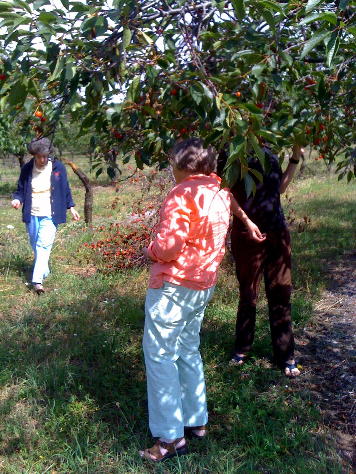 gleaning the cherries in Beulah